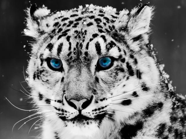 snow-leopard-1280-960-3780