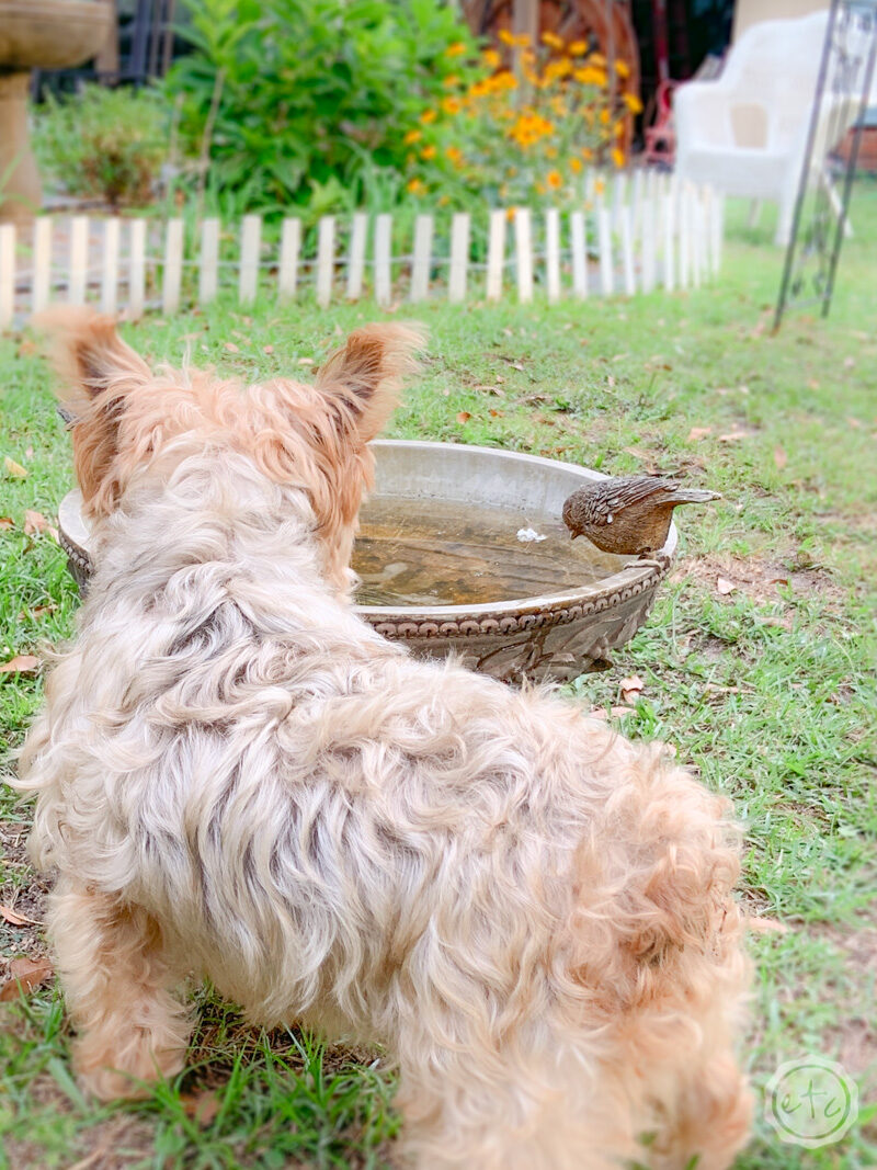 Small yorkie using a bird bath as a water bowl outside in the garden