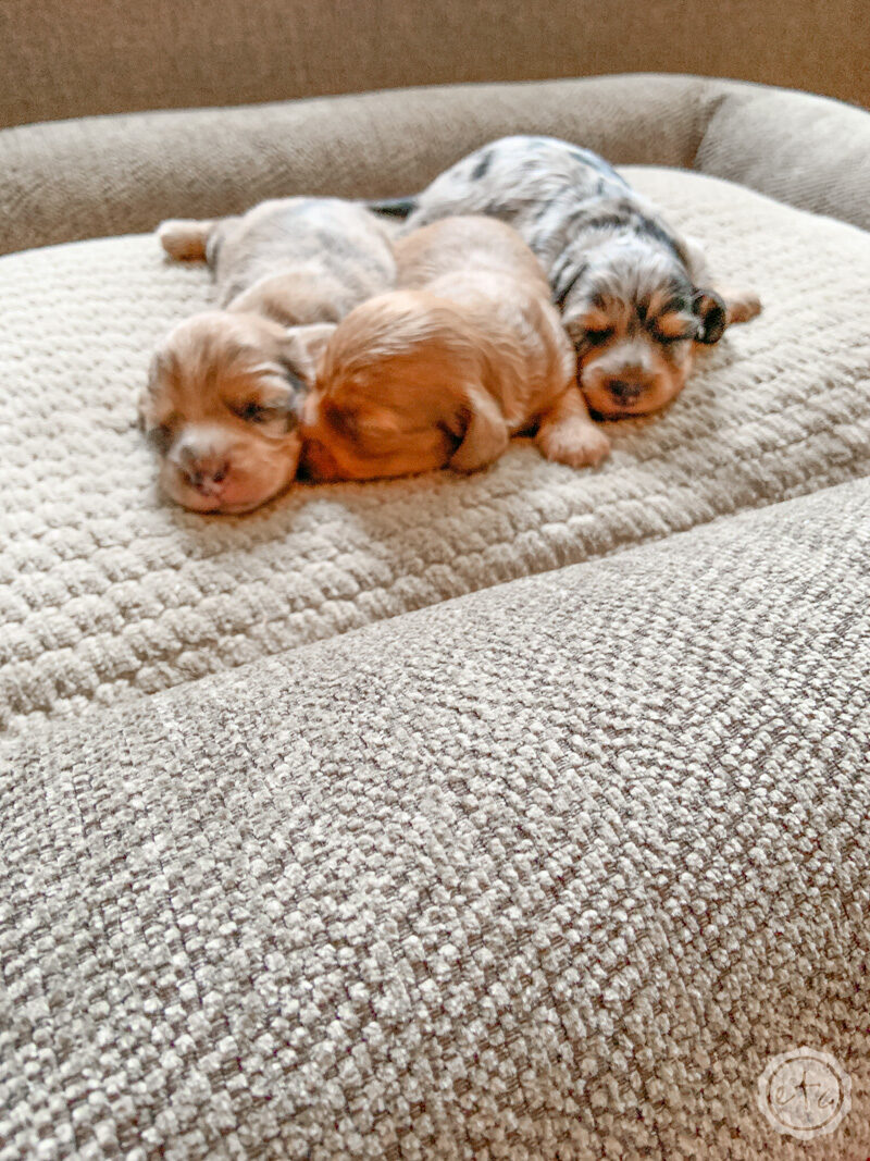 Tiny two week old puppies cuddled on a LaZBoy durable pet beds